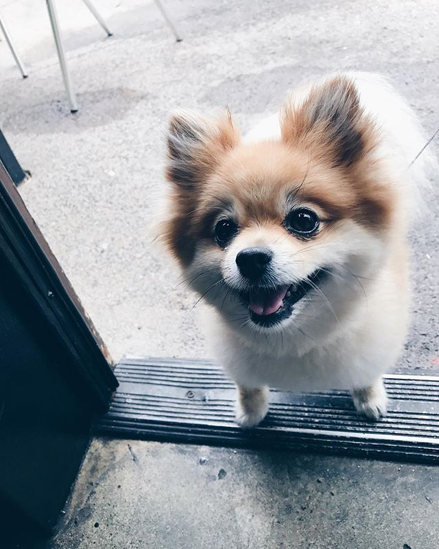 This is our friend Coco, a regular customer. 🐶 #dog #vsco #pomeranian #pomeranianpuppy #coffeeshopvibes #coffee #coffeeshop #hellothere #sandiego #cute #solanabeachcoffeecompany #solanabeach
