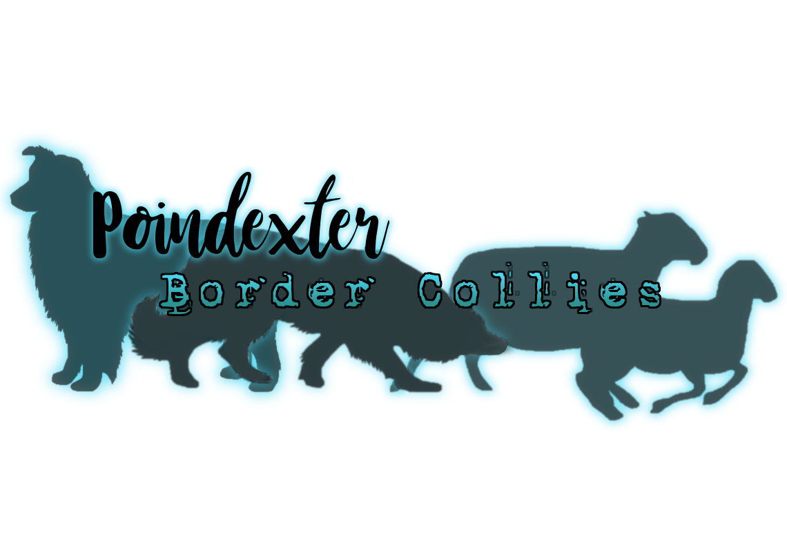 Poindexter Border Collies