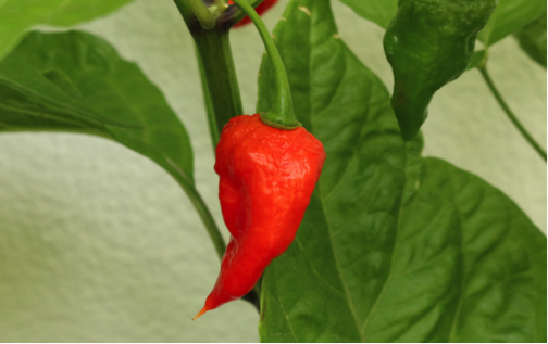 ghostpepper.png