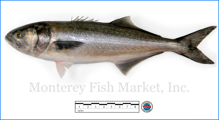 Monterey Fish Market Seafood Index photograph of Bluefish,  Pomatomus saltatrix