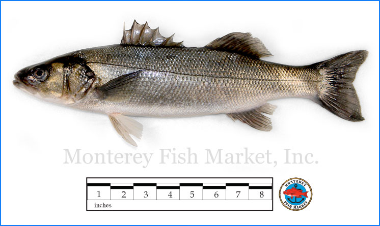 Monterey Fish Market Seafood Index photograph of Bronzino , Dicentrarchus labrax  (Loup de mer)