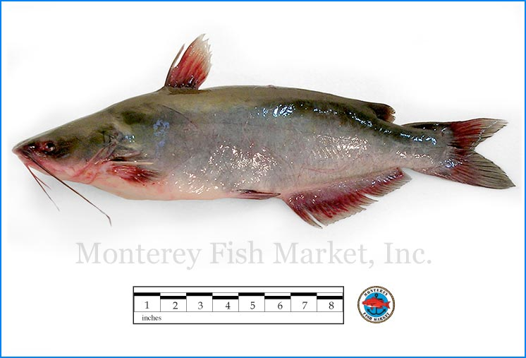 Monterey Fish Market Seafood Index photograph of Channel Catfish,  Ictalurus punctatus