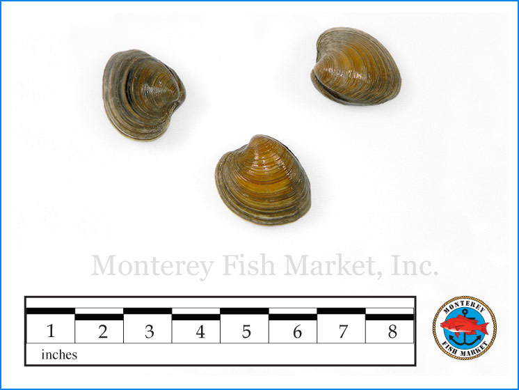 Monterey Fish Market Seafood Index photograph of Little Neck Clams,  Mercenaria mercenaria