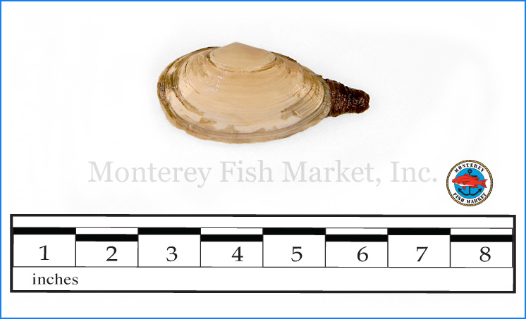 Monterey Fish Market Seafood Index photograph of Steamer Clam,  Mya arenaria  (Ipswich Clam, Pissa Clam)