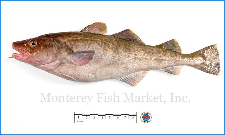 Monterey Fish Market Seafood Index photograph of Atlantic Cod,  Gadus morhua