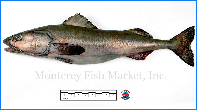 Monterey Fish Market Seafood Index photograph of Black Cod,  Anoplopoma fimbria  ( Sablefish, Butterfish)
