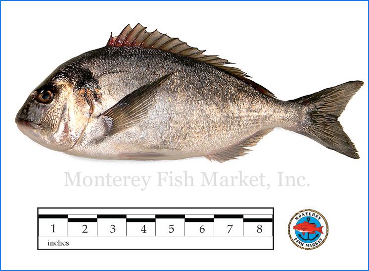 Monterey Fish Market Seafood Index photograph of Dorade,  Sparus aurata  (Sea Bream, Aurata)