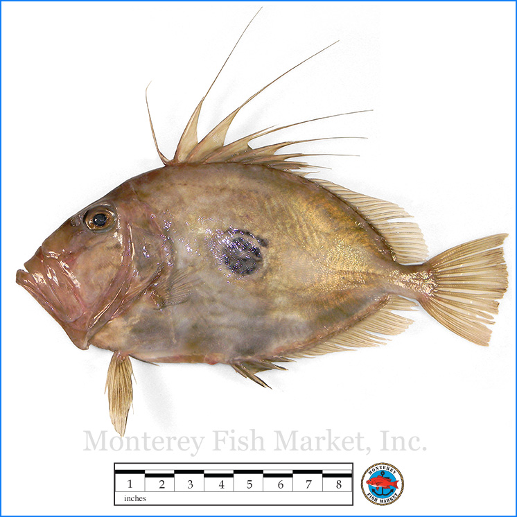 Monterey Fish Market Seafood Index photograph of John Dory,  Zeus faber  (Saint Pierre, Saint Peter's Fish)