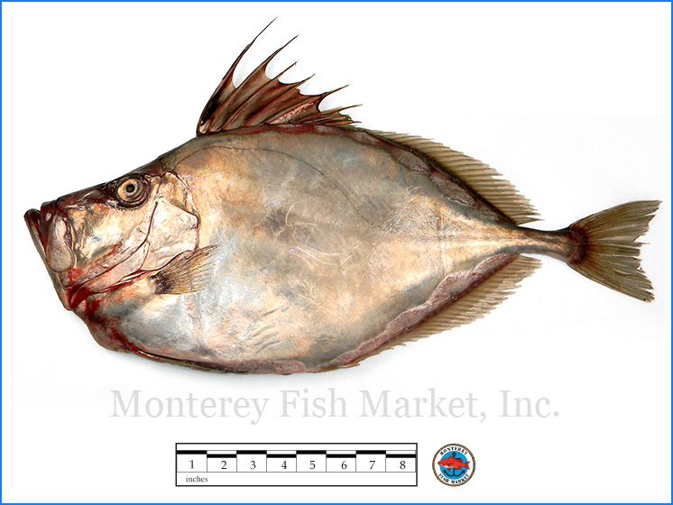 Monterey Fish Market Seafood Index photograph of Silver Dory,  Zenopsis ocellata  (American John Dory)