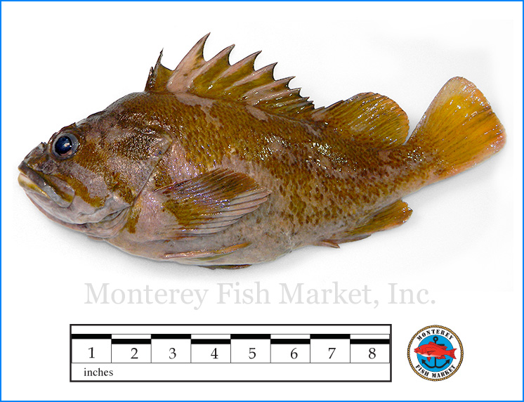 Monterey Fish Market Seafood Index photograph of Gopher Rockfish,  Sebastes carnatus