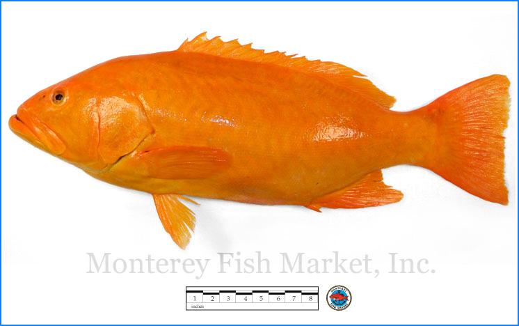Monterey Fish Market Seafood Index photograph of Golden Leopard Grouper,  Mycteroperca rosacea