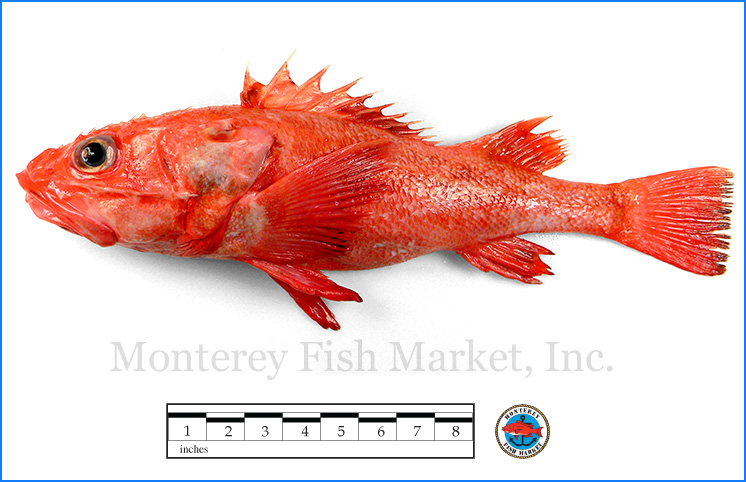 Monterey Fish Market Seafood Index photograph of Idiot Fish,  Sebastolobus alascanus  (Shortspine thornyhead)