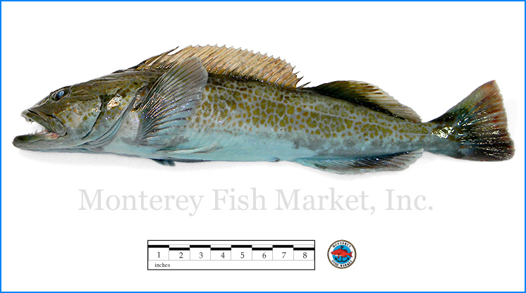 Monterey Fish Market Seafood Index photograph of Ling Cod,  Ophiodon elongatus
