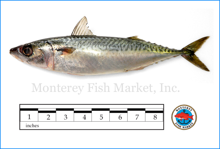 Monterey Fish Market Seafood Index photograph of American Mackerel,  Scomber japonicus