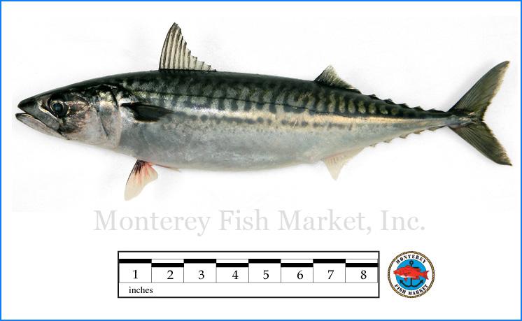 Monterey Fish Market Seafood Index photograph of Boston Mackerel,  Scomber scombrus