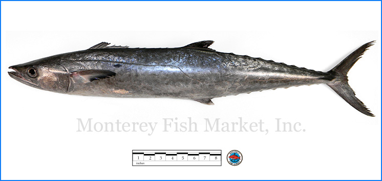 Monterey Fish Market Seafood Index photograph of King Mackerel,  Scomberomorus cavalla