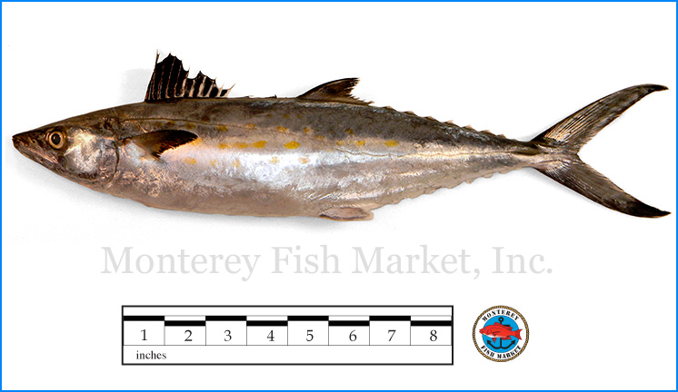 Monterey Fish Market Seafood Index photograph of Sierra Mackerel,  Scomberomorus maculatus