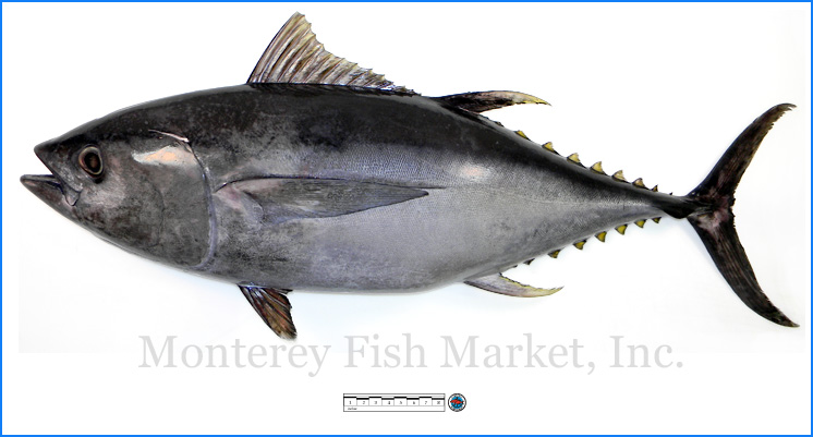 Monterey Fish Market Seafood Index photograph of Bigeye Tuna,  Thunnus obesus
