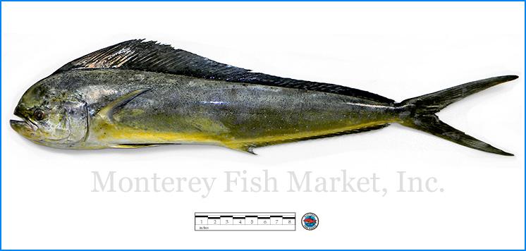 Monterey Fish Market Seafood Index photograph of Mahi Mahi,  Coryphaena hippurus