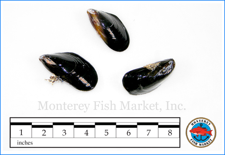 Monterey Fish Market Seafood Index photograph of Blue Mussel,  Mytilus edulis