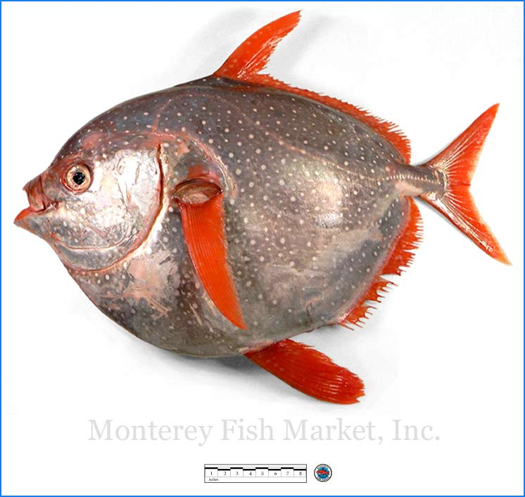 Monterey Fish Market Seafood Index photograph of Opah,  Lampris guttatus  (Moon Fish)