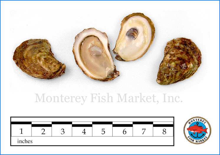 Monterey Fish Market Seafood Index photograph of Atlantic Oyster,  Crassostrea virginicus