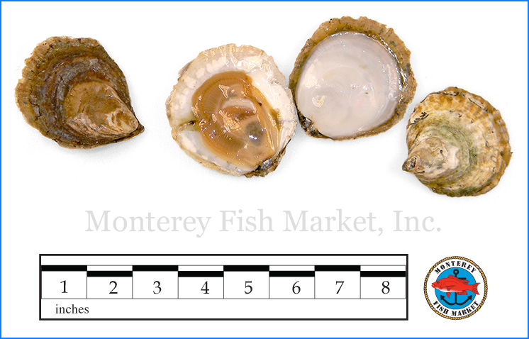 Monterey Fish Market Seafood Index photograph of European Flat Oyster,  Ostrea edulis