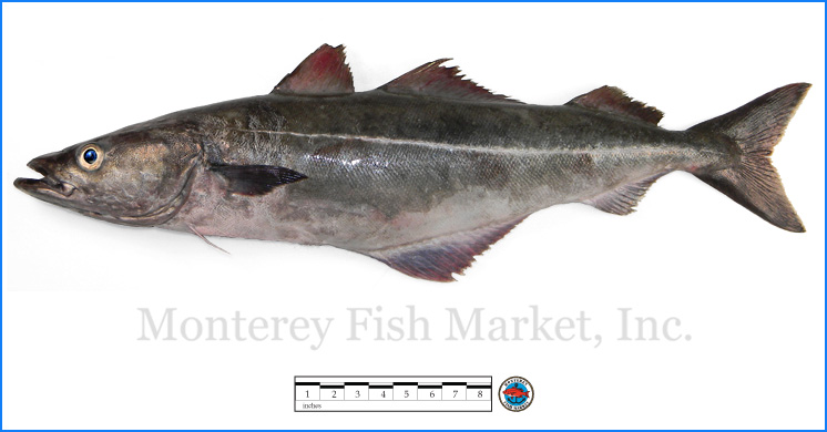 Monterey Fish Market Seafood Index photograph of Atlantic Pollock,  Pollachius virens