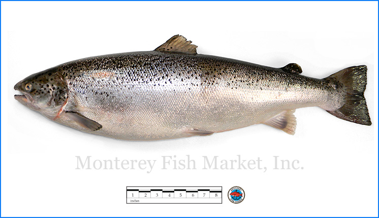 Monterey Fish Market Seafood Index photograph of Atlantic (farmed) Salmon,  S  almo salar