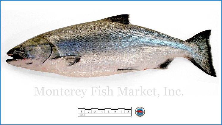 Monterey Fish Market Seafood Index photograph of King Salmon,  Oncorhynchus tshawytscha