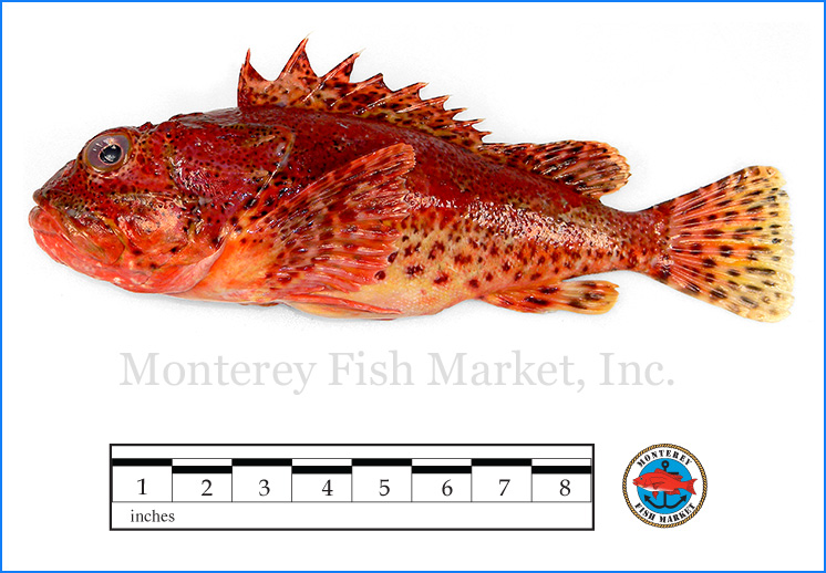 Monterey Fish Market Seafood Index photograph of Scorpion Fish,  Scorpaena guttata  (Sculpin)