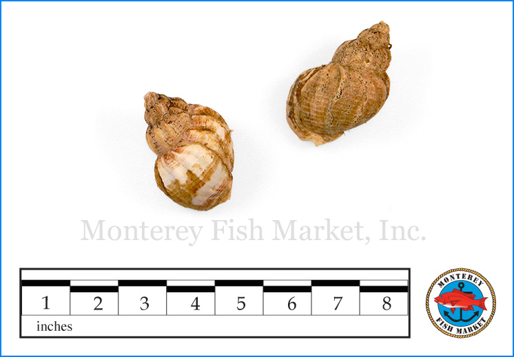 Monterey Fish Market Seafood Index photograph of Scungil,  Busycotypus canaliculatus  (Whelk)