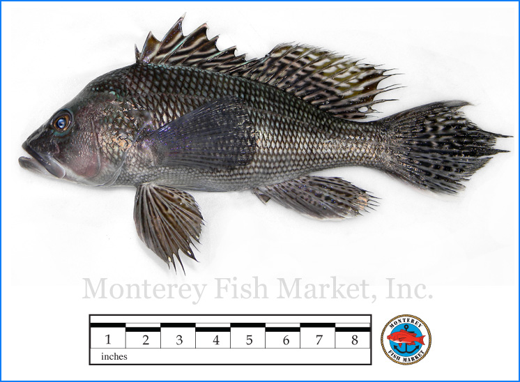Monterey Fish Market Seafood Index photograph of Black Sea Bass,  Centropristis striatas