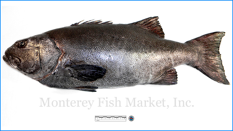 Monterey Fish Market Seafood Index photograph of Giant Sea Bass,  Stereolepis gigas
