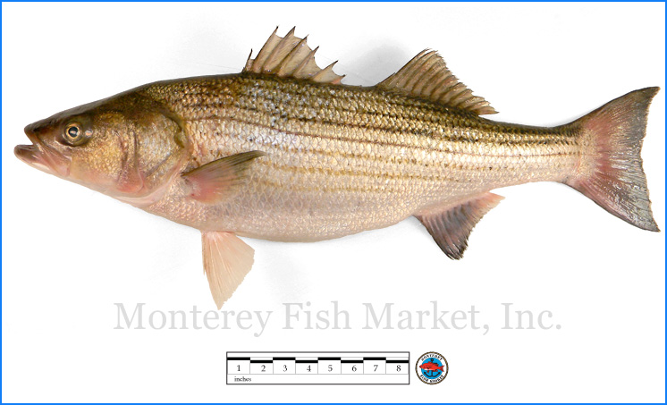 Monterey Fish Market Seafood Index photograph of Striped Sea Bass,  Morone saxatilis