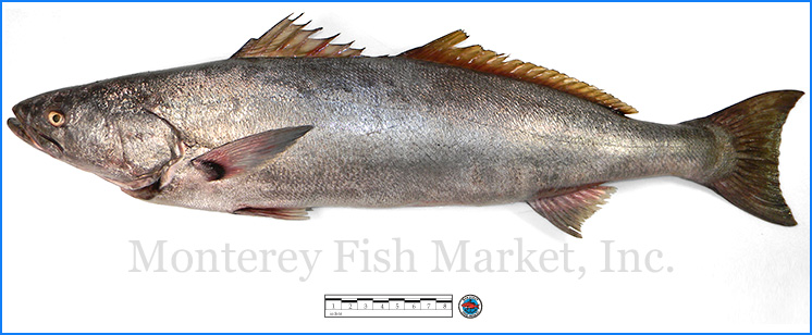 Monterey Fish Market Seafood Index photograph of White Sea Bass,  Atractoscion nobilis  (King Croaker)