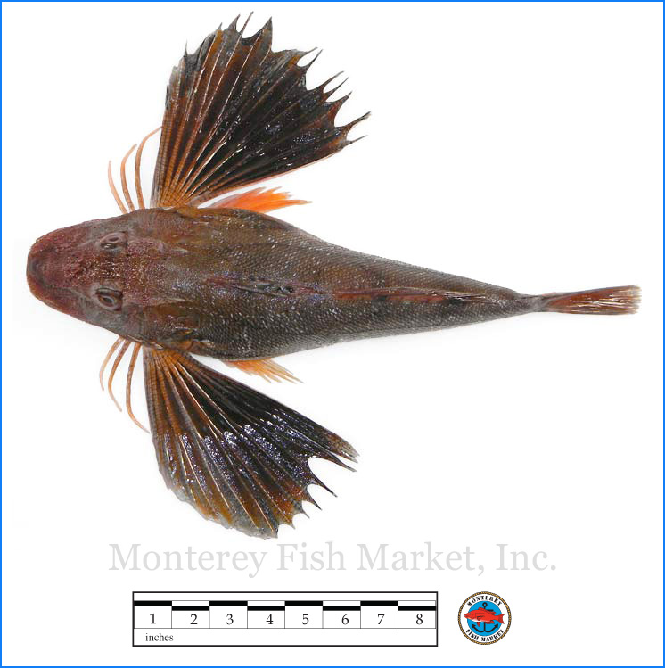 Monterey Fish Market Seafood Index photograph of Northern Sea Robin,  Prionotus carolinus  (Gurnard)