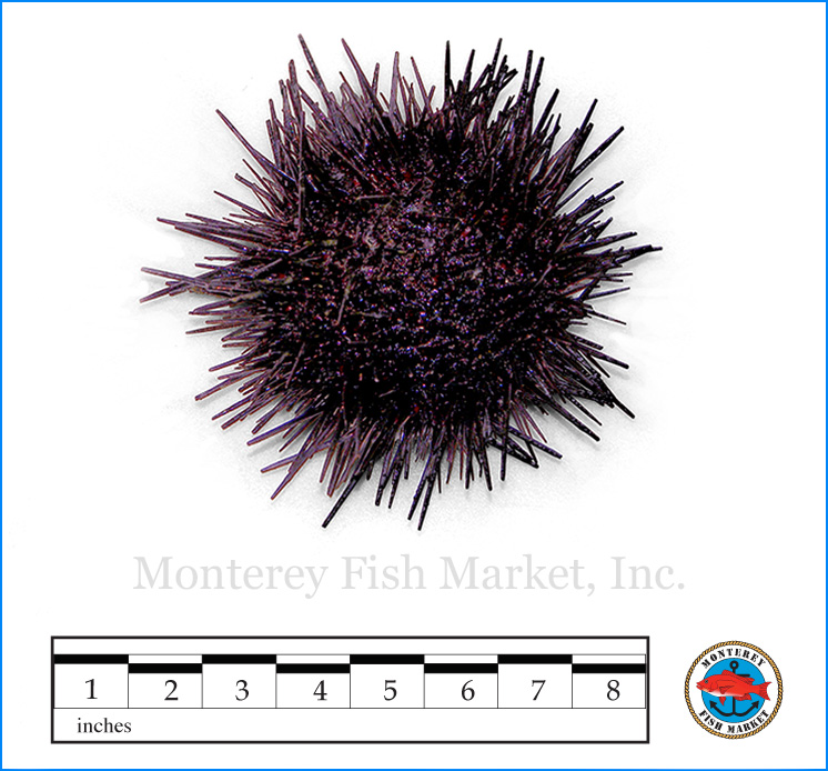 Monterey Fish Market Seafood Index photograph of Red Sea Urchin,  S  trongylocentrotus franciscanus  (Uni)