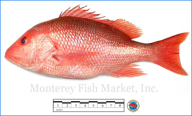 Monterey Fish Market Seafood Index photograph of Red Snapper -  Lutjanus campechanus  (True Snapper)