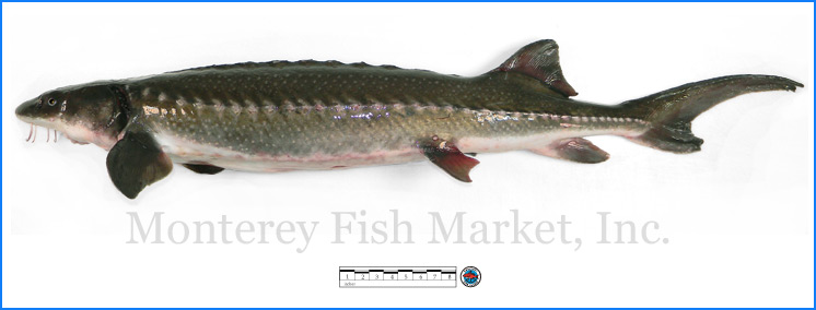 Monterey Fish Market Seafood Index photograph of White Sturgeon -  Acipenser transmontanus