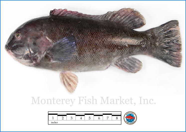 Monterey Fish Market Seafood Index photograph of Tautog,  Tautoga onitis  (Blackfish)