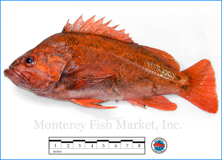 Monterey Fish Market Seafood Index photograph of Vermillion Rock Fish -  Sebastes miniatus