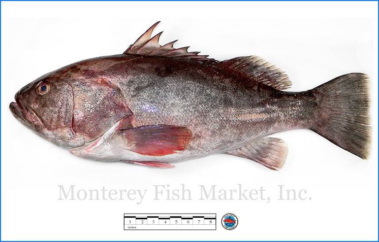 Monterey Fish Market Seafood Index photograph of Wreck Fish -  Polyprion americanus