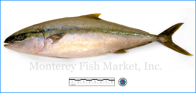 Monterey Fish Market Seafood Index photograph of Yellowtail Jack -  Seriola lalandi
