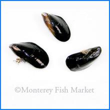 Blue Mussel