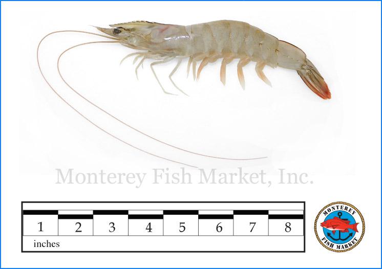 Monterey Fish Market Seafood Index photograph of White Shrimp,  Litopenaeus setiferu