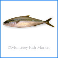Yellowtail Jack
