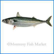 Boston Mackerel