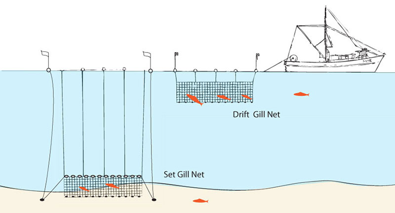 Gillnetting and driftnetting, passive methods, can be used to harvest bottom or pelagic fish.  A gillnet is a wall of netting set in a straight line, equipped with weights at the bottom and floats at the top, and is usually anchored at each end. Fish such as swordfish, thresher shark, and rockfish try to swim through the net and are caught when their gill covers are snagged, hence the name gillnetting.  If allowed to drift freely, the method is referred to as driftnetting, and the method is more active.