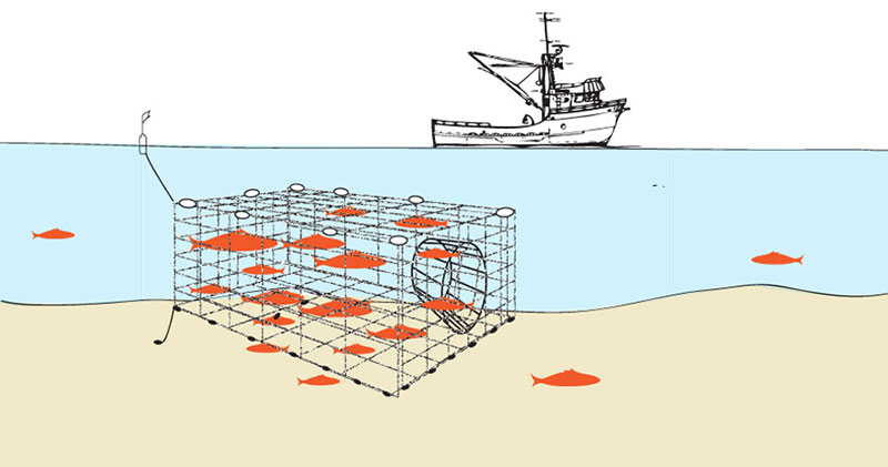 Fish traps are large net or link traps suspended in the water or on the bottom, marked by buoys, weighted, and anchored. Fish are able to swim in, small size fish can escape and non-targeted fish can be released alive when the fishermen return to harvest the targeted fish.